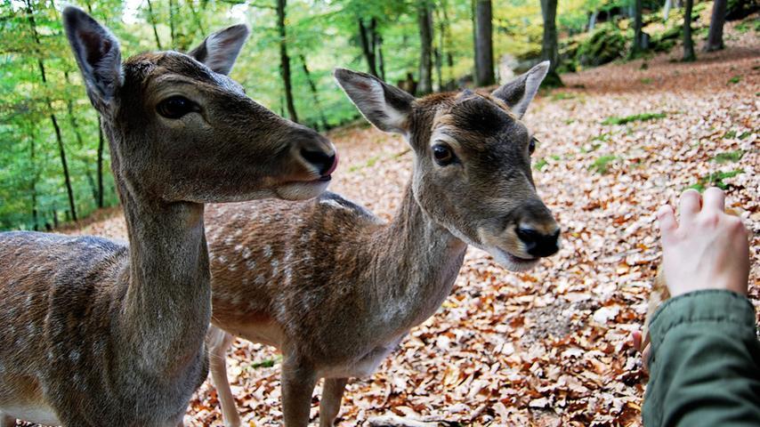 Die Tiere, die offenbar an den Anblick von Menschen gewohnt sind, zeigen sich bisweilen ...