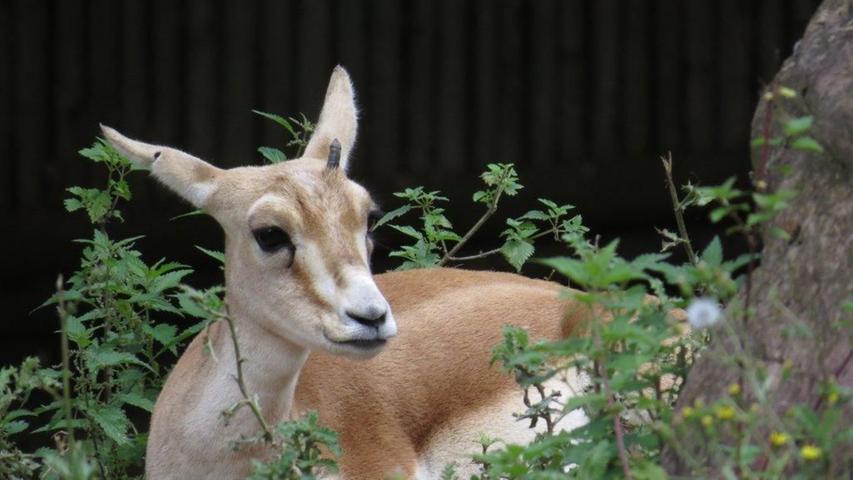 Der Gesamtbestand der Kropfgazelle hat über die letzten zweiJahrzehntestark abgenommen. Die Kropfgazelle wird daher als gefährdeteingestuft. Im Tiergarten Nürnberg kann die Antilopenart von Jung und Alt bestaunt werden.