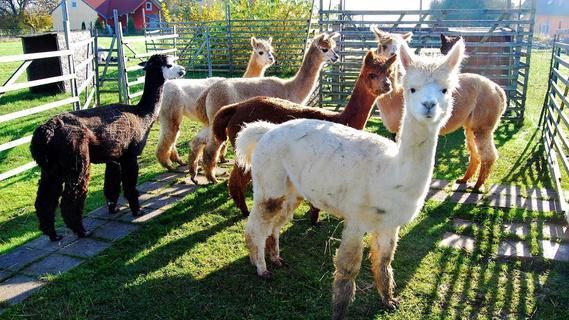 Sieben Alpakas haben in Breitbrunn neues Zuhause gefunden