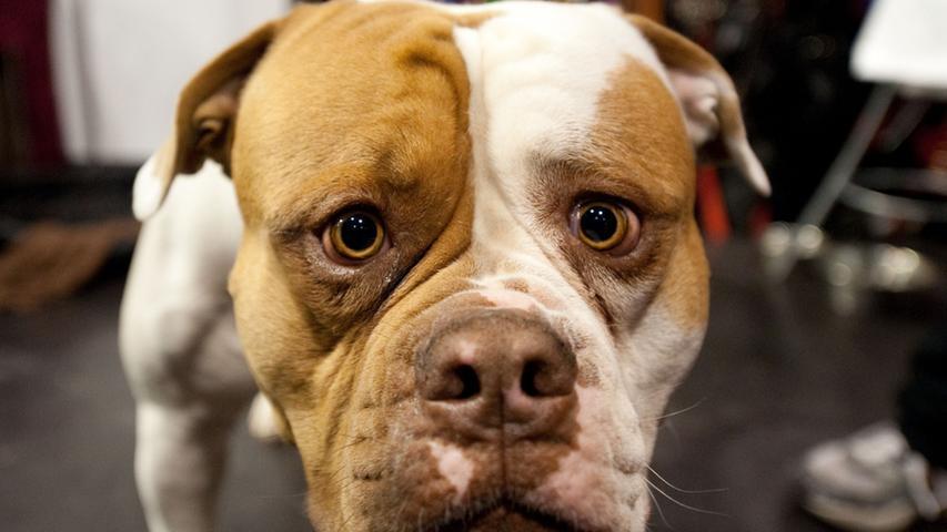 Der American Bulldog wird in Amerika bis heute als Jagdhund eingesetzt. Die Hunde sind aber eigentlich eher gelassene Vierbeiner, die mit guter Erziehung völlig unauffällig sind. Dennoch sind sie in Bayern als Kategorie 2-Hund gelistet.