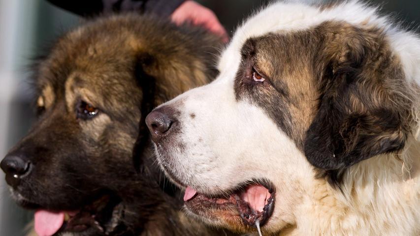 Man möchte kaum glauben, dass der Spanische Mastiff (r.) jemanden angreifen könnte - außer vielleicht, um ihm liebevoll den Sabber um die Ohren zu hauen. Und trotzdem: Der Mastino Espanol wurde als eigensinniger Herdenschutzhund gezüchtet, der auch mal selbst Entscheidungen treffen sollte. Daher lässt sich dieser Hund auch nur ungern Befehle erteilen.