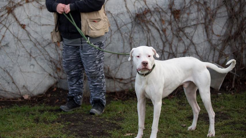 Der Dogo Argentino wurde Anfang des 20. Jahrhunderts als Jagd- und Schutzhund in Argentinien gezüchtet. Der Kriegs- und Jagdhund Perro de Pelea Cordobes wurde mit dem Spanischen Mastiff, Bulldogge, Boxer, Bullterrier, Deutsche Dogge, Englischen Pointer, Irischen Wolfshund und Pyrenäen-Berghunden gekreuzt. Das Ergebnis: Ein vielseitiger Jagd- und Schutzhund, weshalb er als Kategorie 2-Hund gelistet ist. Wird der Dogo Argentino nicht gründlich erzogen und hat er kein Herrchen, das er als Rudelführer akzeptiert, wird aus dem Tier ein