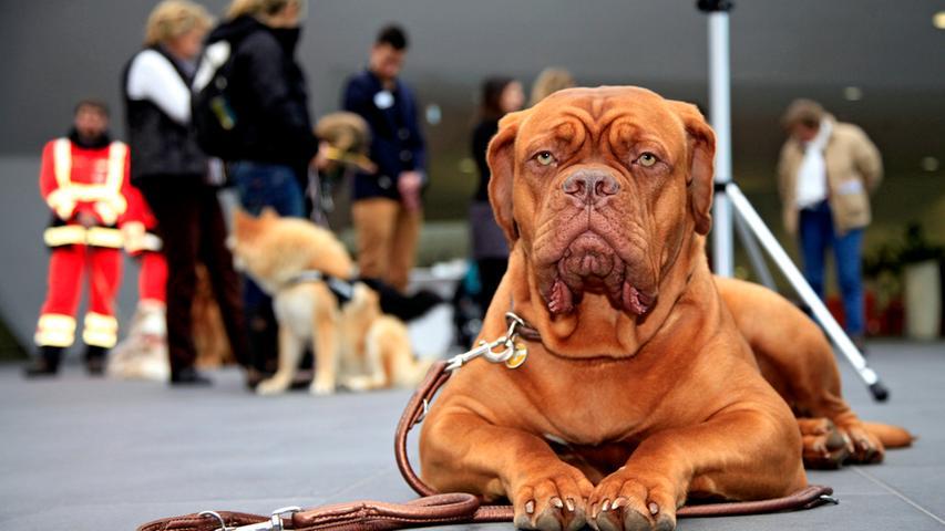 So furchterregend die Bordeaux-Dogge auch aussieht, wird sie doch als normalerweise ruhiger und ausgeglichener Hund beschrieben. In die Kampfhundeauflistung kam sie vermutlich durch ihre Vergangenheit und ihr Äußeres, begründet wurde ihr Verbleib in der Auflistung durch ihre große Kraft und die ihr unterstellte mangelnde Führigkeit - sie soll sehr starrköpfig sein.