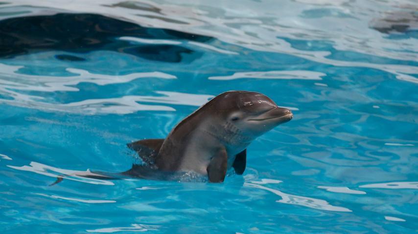 Nürnberger Tiergarten stellt Delfinkalb Nami der Öffentlichkeit vor