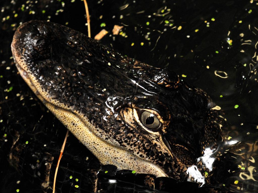 Mississippi-Alligator Fred liegt am Donnerstag (16.06.2011) in der  Reptilien-Auffangstation in München (Oberbayern) in seinem Gehege im Wasser.  Fred ist eins von knapp 800 Reptilien, die derzeit in der Auffangstation von  Tiermedizinern und ehrenamtlichen Helfern aufgepäppelt werden. Vor 15 Jahren  ist die Station in München gegründet worden; damals die erste in Deutschland.  Jährlich kostet der Unterhalt der Tiere 600 000 Euro. Foto: Frank Leonhardt  dpa/lby (Zu dpa-KORR: