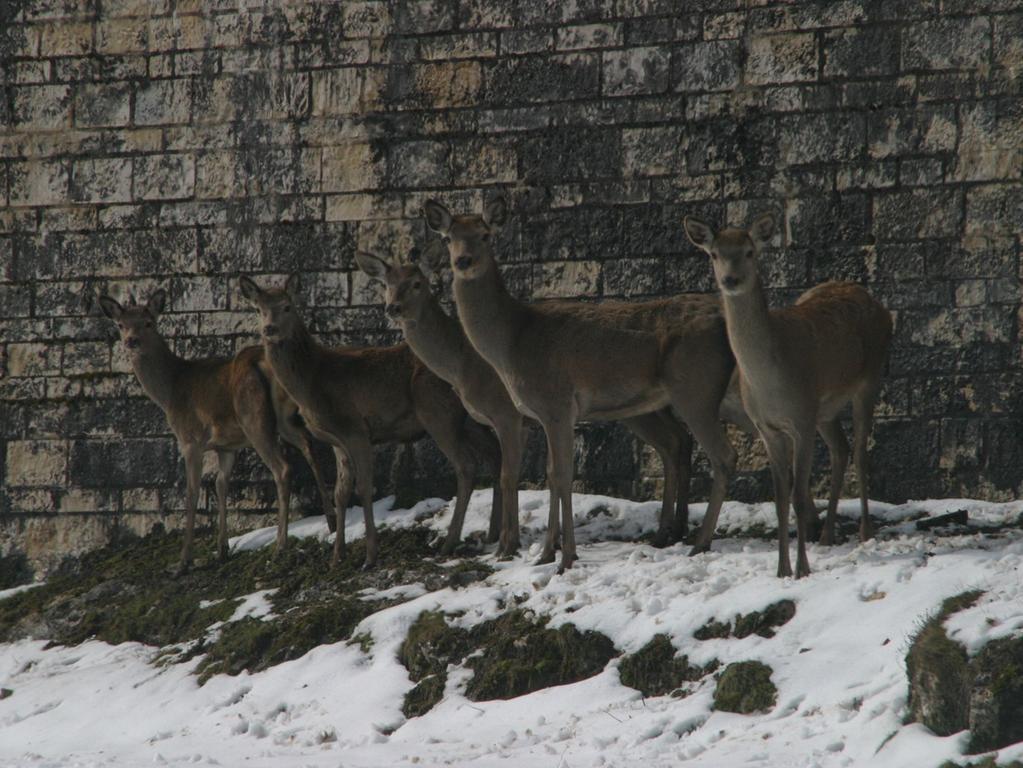 Umgezogen: 2008 mussten die Hirsche aus dem Graben der Festung Wülzburg hoch über Weißenburg weichen. Langwierige Renovierungsarbeiten standen an. Experten hatten die Befürchtung, dass die Tiere nach dem Umzug ins freie Feld völlig den Überblick verlieren könnten. Immerhin hatten sie ihr ganzes Leben noch nie weiter als 50 Meter am Stück schauen können. Denn breiter ist der langgezogene Graben um die gigantische Festung nicht. Die Einfangaktion mit Betäubung ging aber reibungslos über die Bühne und man hat bis heute nicht den Eindruck, dass die Tiere in ihrem neuen Gehege nahe Kehl ein Problem mit dem Weitblick hätten. Das Panorama von dem Festungshang ist allerdings auch ausnehmend schön.