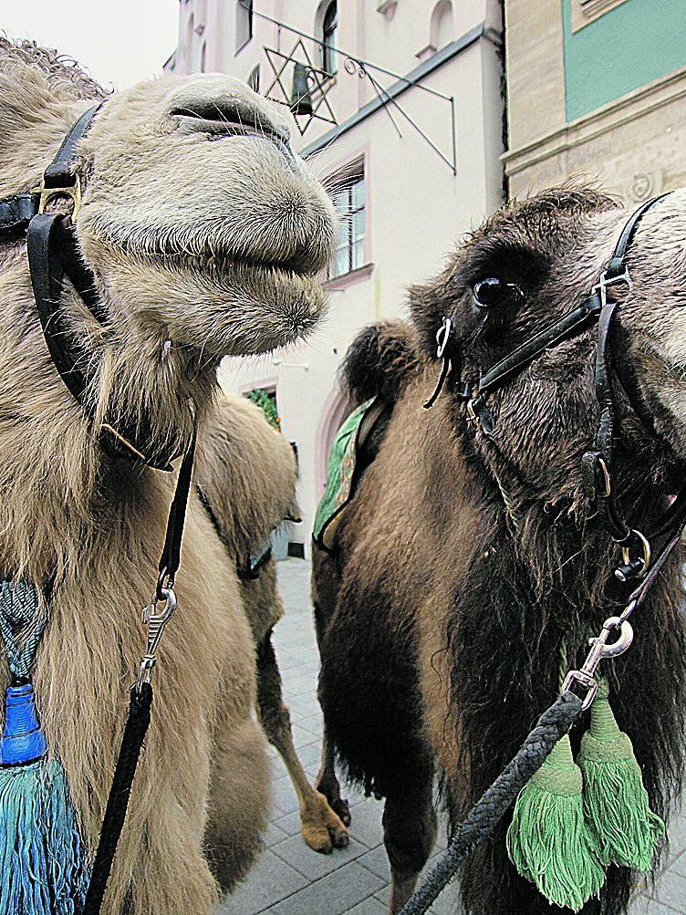 2008 verendete eines der beiden Kamele, die auf dem Weißenburger Weihnachtsmnarkt Kinder durch die Budenstadt schaukelten. Es hatte in seinem Auslaufgelände an einer Eibe geknabberte und war an dem hochgiftigen Baum gestorben.
