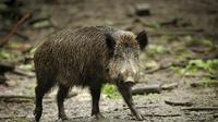 Eine Wildschweinrotte hatte sich auf die Autobahn verirrt und löste einen Unfall aus.