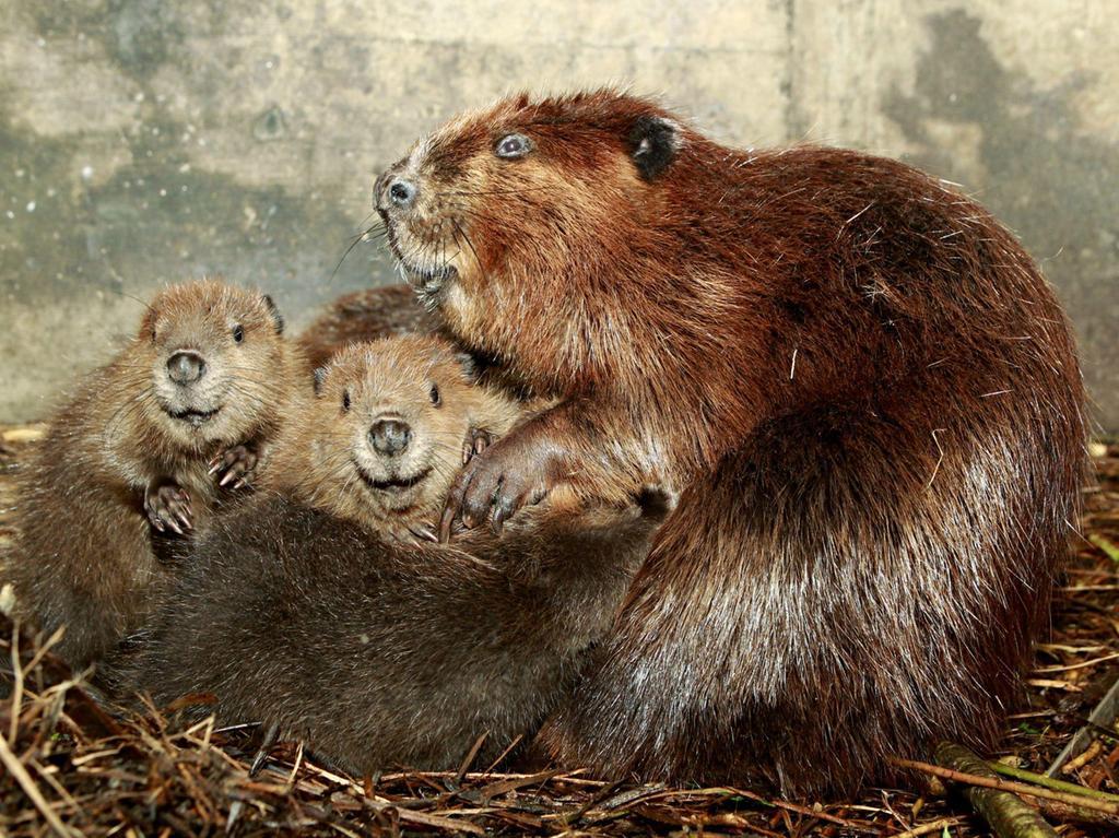 Die Biber-Mama muss ihren Kleinen nach der Stillzeit, den eigenen Kot zum futtern geben, damit wichtige Enzyme in den Darm gelangen.