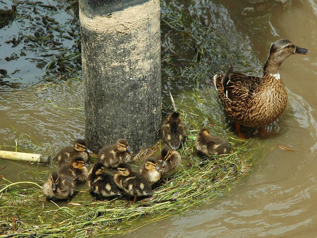 Enten-Mütter, wie diese an der Wiesent Nähe schiefem Haus in Forchheim, sind emanzipiert und teilen sich die Erziehung mit den Erpeln.