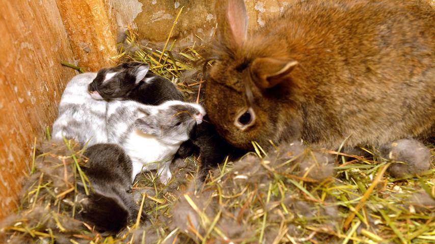 Der Kaninchen-Papa hält es wie so viele Männer: Für den kurzen amourösen Spaß ist er zu haben, die Erziehung muss die Mutter übernehmen