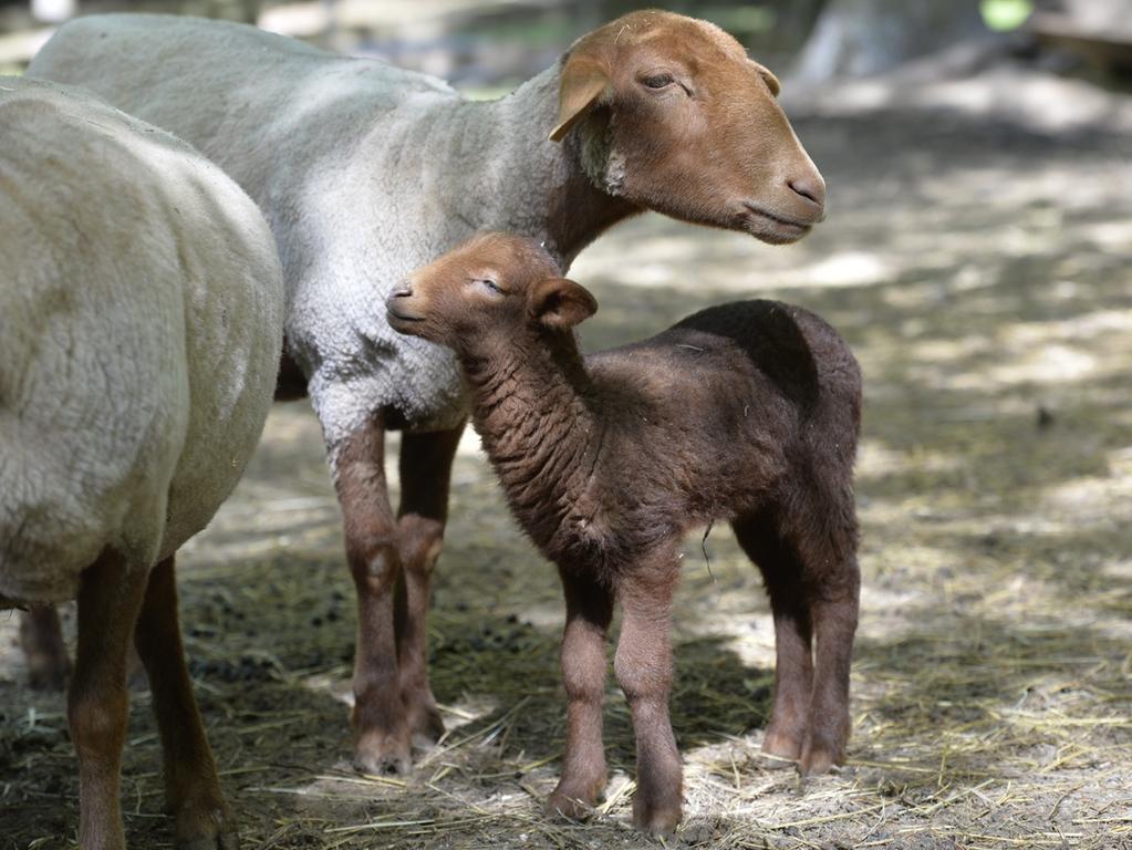 Bei den Schafen muss die Mutter ran und ist für die Kleinen komplett zuständig.  Die Heidschnucken-Mutter im Wildpark Hundshaupten muss ihr Lamm nicht nur  säugen, sondern auch sauber lecken. Neben den Heidschucken haben auch die  Coburger Fuchsschafe, die Waldschafe und die Soay-Schafe im Moment Lämmer.