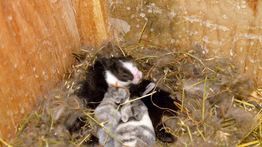 Mutterliebe bis zur Selbstausbeutung: Damit es die kleinen Kaninchen weich  haben, hat sich die Mama extra das Fell ausgerupft.