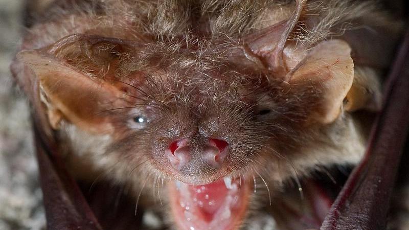Sie jagen nachts - vielleicht brachte diese Eigenschaft ihnen den Vampirmythos ein. Fledermäuse sind hierzulande schon lange heimisch. Es gibt 24 verschiedene Fledermausarten in Bayern. Diese waren lange Zeit vom Aussterben bedroht, mittlerweile haben sich die Bestände erholt. Lediglich zwei Arten ringen noch um ihr Fortbestehen. Es gibt zwei Koordinationsstellen für Fledermausschutz, die sich für die fliegenden Nachtschwärmer einsetzen. Diese suchen ihr Zuhause mitunter gerne in fränkischen Kirchtürmen.