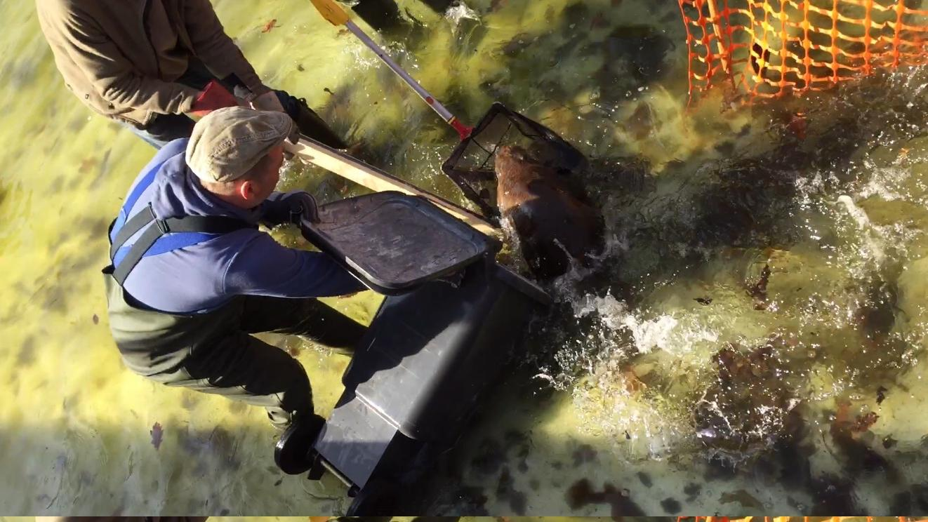 Erst im April wurde der Biber aus einer brenzligen Situation gerettet, jetzt lebt er im Naturgartenbad. Doch wie lange noch?