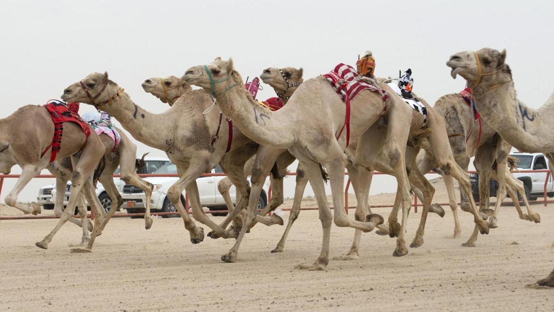 Kamelrennen sind die große Leidenschaft der Scheichs. Dank der Technologie aus Nürnberg können sie jetzt den Rennverlauf bequem von klimatisierten Räumen aus auf Bildschirmen verfolgen.