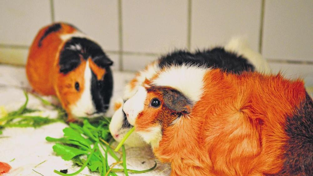Den drei Neuzugängen im Tierheim Feucht geht es wieder gut. Meerschweinchen lieben Petersilie.