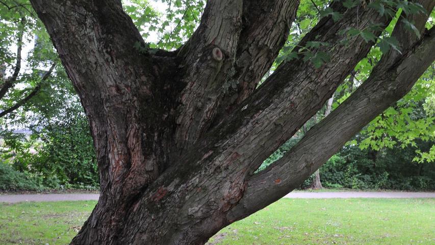 Bis zu hundert Jahre alt sind die Bäume im Stadtpark.