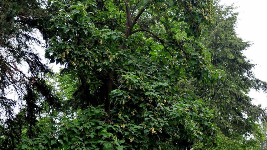 Amerikanischer Tulpenbaum
