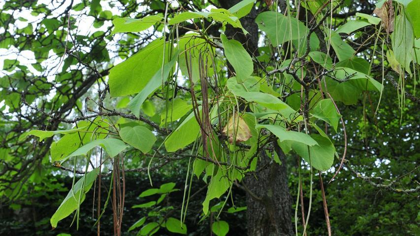 Wie Bohnen hängen die rund 25 Zentimeter langen Schoten des Trompetenbaums nach  unten.