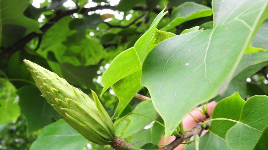 Die Frucht des amerikanischen Tulpenbaums ähnelt einem Koniferen-Zapfen.