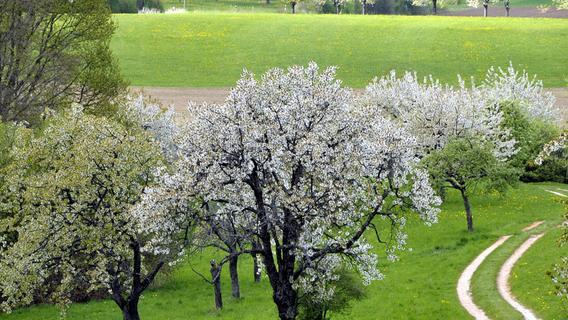 Digitaler Kirschenanbau in der Fränkischen Schweiz: Wenn sich der Baum selbst schneidet
