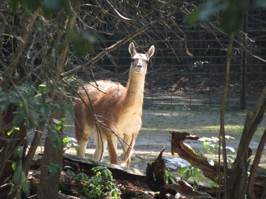 Guanako 2015 im Tiergarten