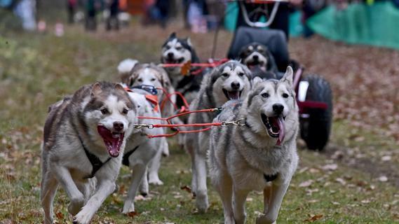 Hechelnde Huskys: 1200 Schlittenhunde kämpfen um Meistertitel