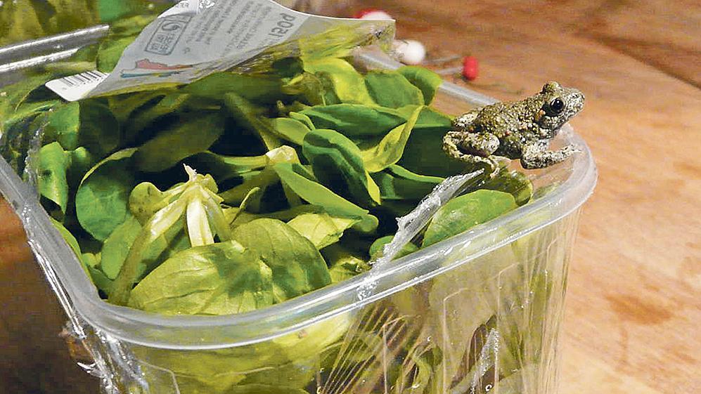 Zufallsfund im Feldsalat aus Frankreich: In dieser Packung, die in einem Weißenburger Supermarkt gekauft wurde, hatte sich die kleine Erdkröte versteckt, die den Transport aus Nantes heil überstanden hat.