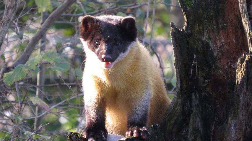 Da sie wegen ihrer Vorliebe für Honig manchmal Bienenstöcke aufbrechen und in einigen Regionen ihr Fleisch gegessen wird, werden sie verfolgt.Hauptbedrohung ist aber der Verlust des Lebensraums durch Waldrodungen.