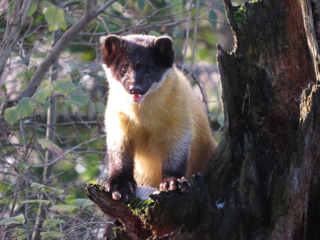 Der Buntmarder ist ein Allesfresser - Nagetiere, Frösche, Vogeleier, Insekten, Früchte und vor allem Honig gehören zu seinen Leibspeisen. Hierfür können Buntmarder auch gut klettern. Dieses Exemplar aus dem Nürnberger Tiergarten heißt Alisa.
