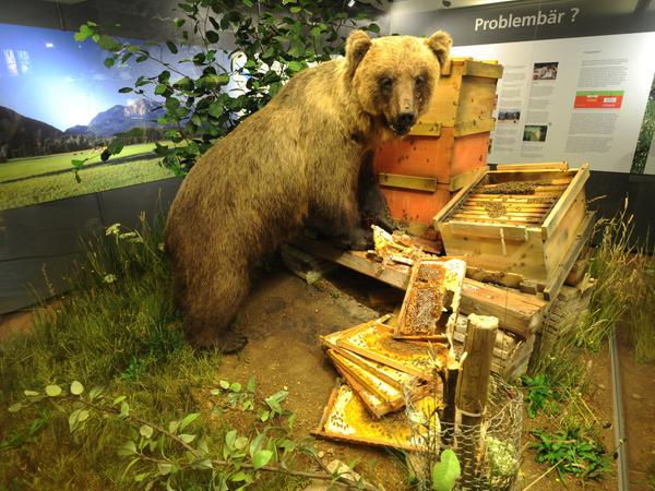 Bruno der Bär für SamSon