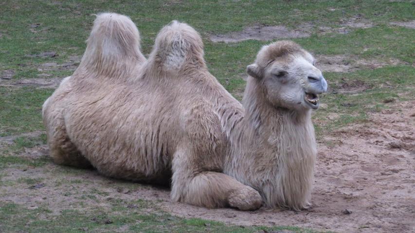 In derRoten Liste gefährdeter Artenwerden die wilden Trampeltiere seit 2002 alsvom Aussterben bedroht. Weltweit beträgt der Bestand nur noch ca. 1.000 Trampeltiere in freier Wildbahn.DieWild Camel Protection Foundationsetzt sich für den Schutz der letzten lebenden wilden Trampeltiere ein. Sie plante deshalb gemeinsam mit der chinesischen Regierung ein großflächiges Schutzgebiet für diese Tiere.