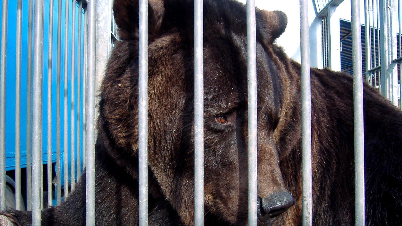 Ben ist einer der letzten Zirkusbären in Deutschland - jetzt wurde er befreit.