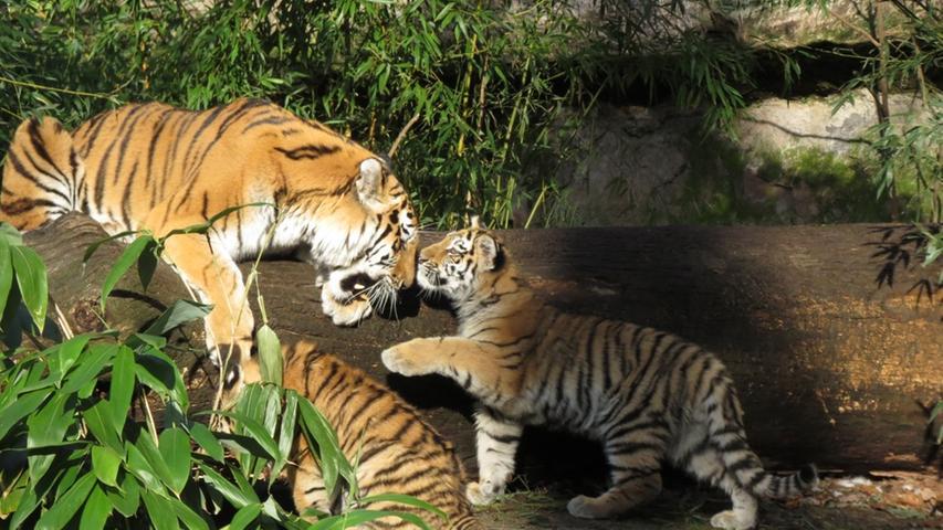 Neben dem Verlust des natürlichen Lebensraumes ist der Sibirische Tiger vor allem durch die Verringerung der Großwildbestände, die seine natürliche Nahrungsgrundlage bilden, bedroht.Der illegale großflächige Holzeinschlag stellt eine der Hauptursachen für den Verlust des Tiger-Lebensraumes dar.Ein weiterer Faktor, der den Lebensraum des Sibirischen Tigers bedroht, sind Waldbrände. Der Sibirische Tiger wird als stark gefährdet, bis zum nächsten Jahr des Tigers 2022 soll der Bestand aber von heute ca. 500 Tieren verdoppelt werden.