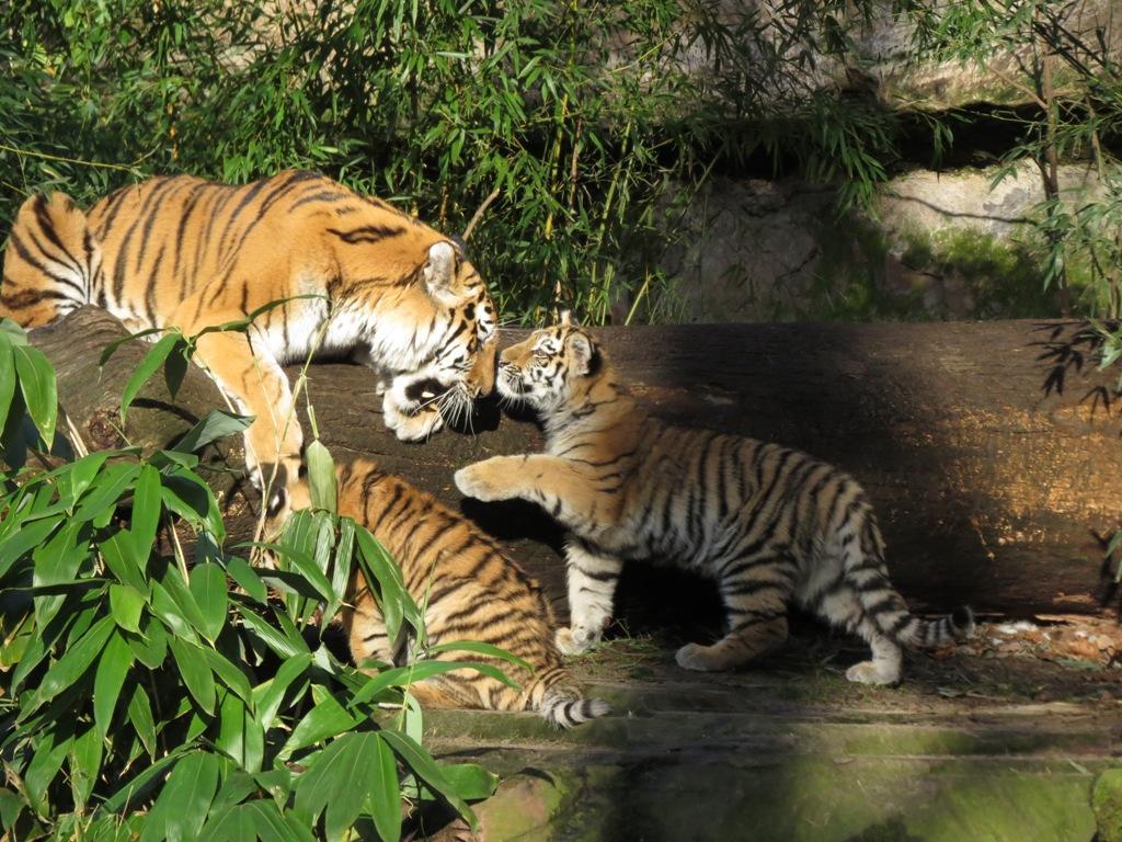 Sibirischer Tiger Katinka u.Nachwuchs151124-04