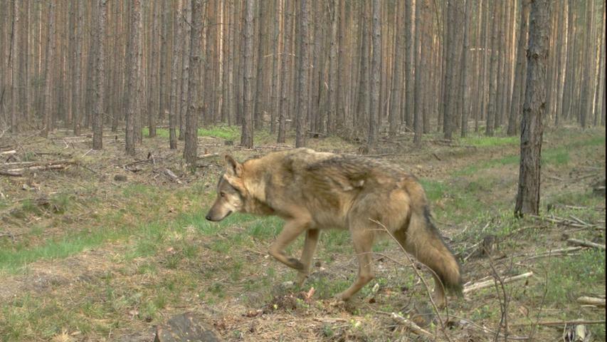 Die Wölfe kommen zurück: Unterwegs in der Lausitz