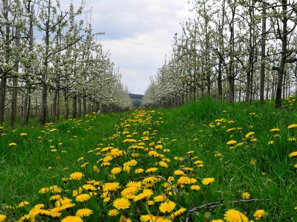 Motiv:Landkreis Forchheim Blüte 2..Ob Kirschen,Äpfel,Birnen und Raps..Die  Fränkische Schweiz erwacht in voller Blüte..bei Kureuth..Datum:18.04.2016