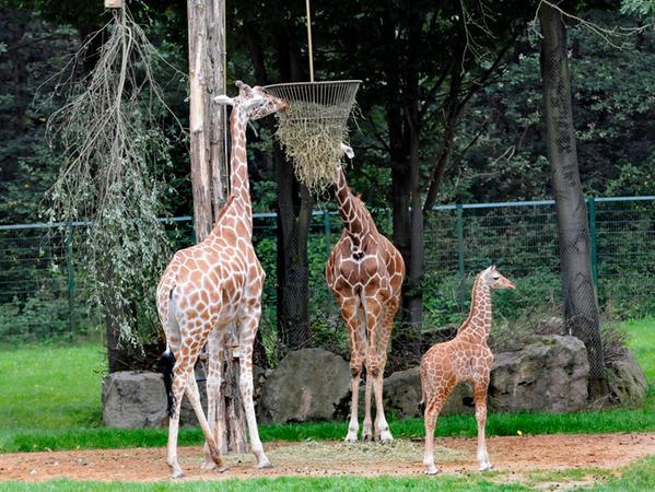 "RESSORT: Lokal 29.8.08 FOTOGRAF: Karlheinz Daut MOTIV: Tiergarten, Nachwuchs  bei den Giraffen, ""Epesi"", Mutter Kibali links"
