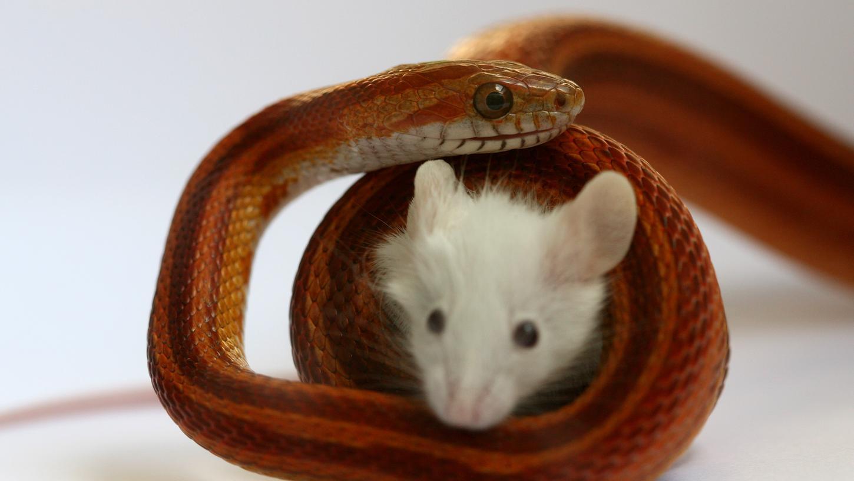 Eine Kornnatter erwürgt ihr Beutetier. Nach dem deutschen Tierschutzgesetz müsste die Maus bereits tot sein.
