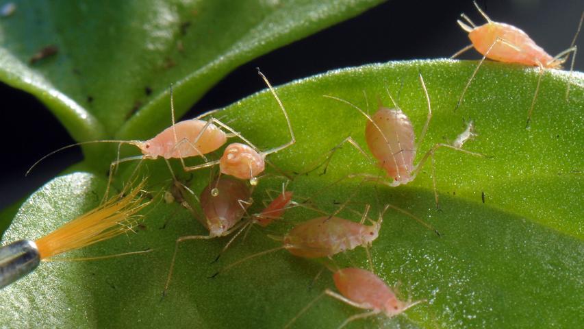 Gewinner: Die Blättläuse sind nicht gerade Sympathieträger, zählen aber zu den Gewinnern in der Insektenwelt.