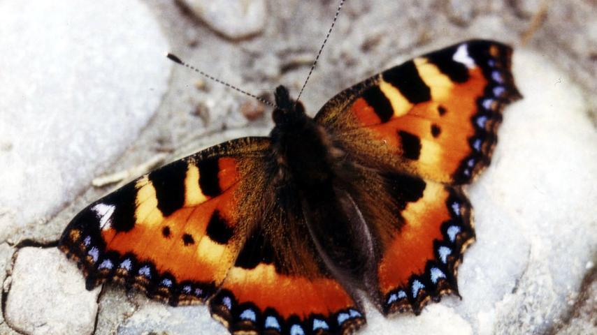 Gewinner & Verlierer: Rund 60 Prozent der Schmetterlingsarten in Bayern sind gefährdet. Einer der wenigen Profiteure der letzten Jahrzehnte ist der Kleine Fuchs. Ihn sieht man sehr häufig.