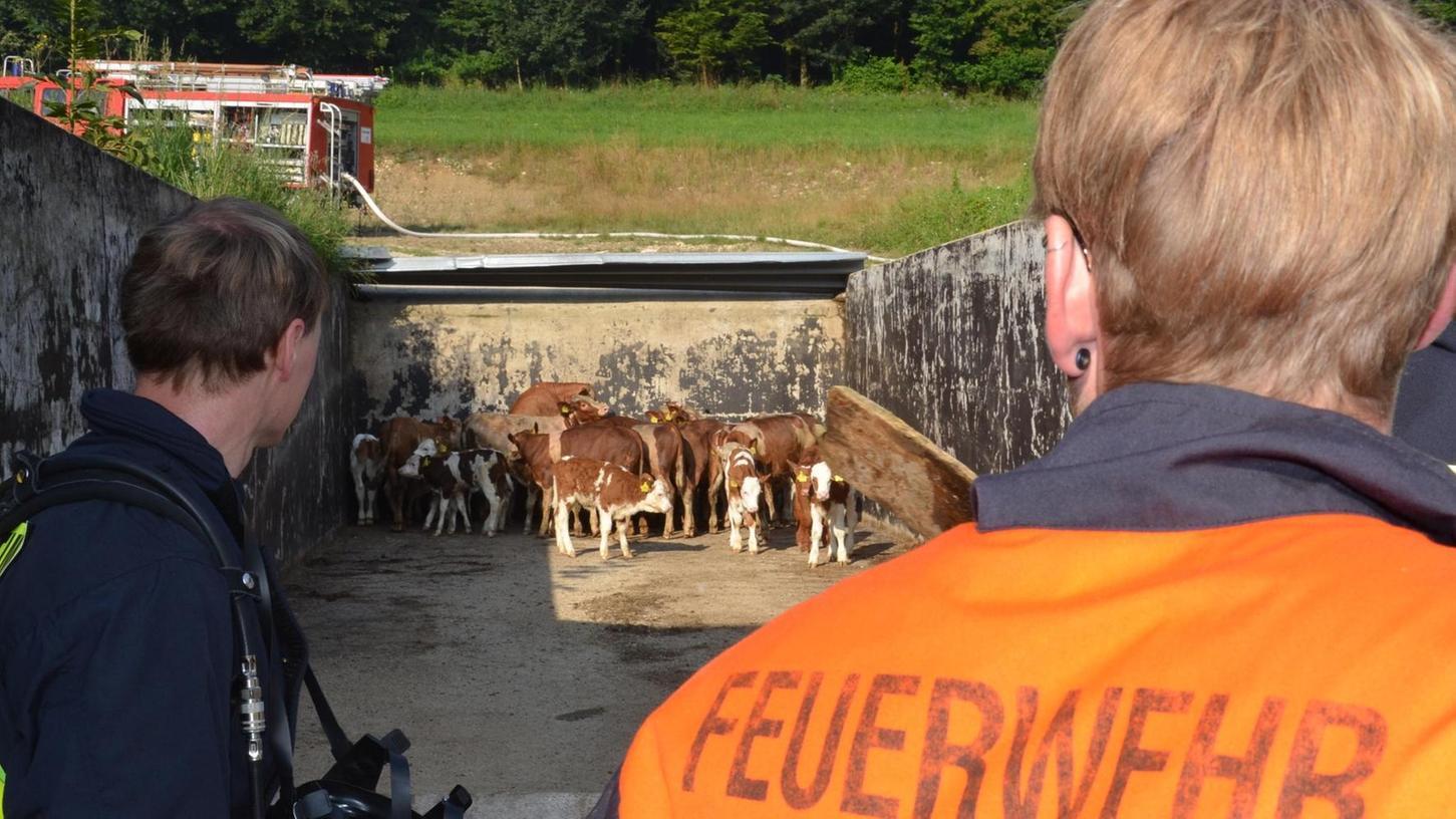 Feuerwehr als Lebensretter: 18 Rinder und Kälber konnten aus dem brennenden Stall gerettet und in Sicherheit gebracht werden.