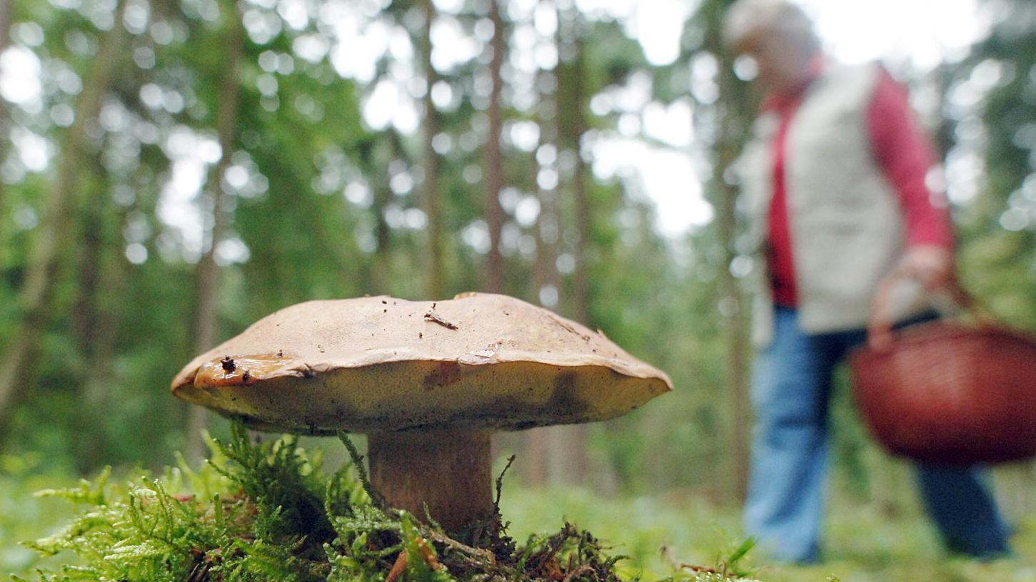 Pilze sind äußerst gesund, denn sie enthalten Eiweiße und Mineralstoffe. Doch wie viele es davon im Wald zu finden gibt, hängt von verschiedenen Faktoren ab.