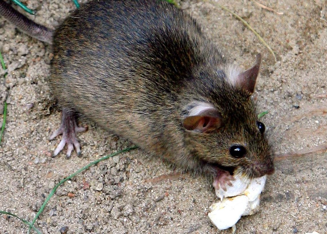 Ekel-Alarm: Ratten und Mäuse sind vor allem in der Altstadt eine echte Plage.