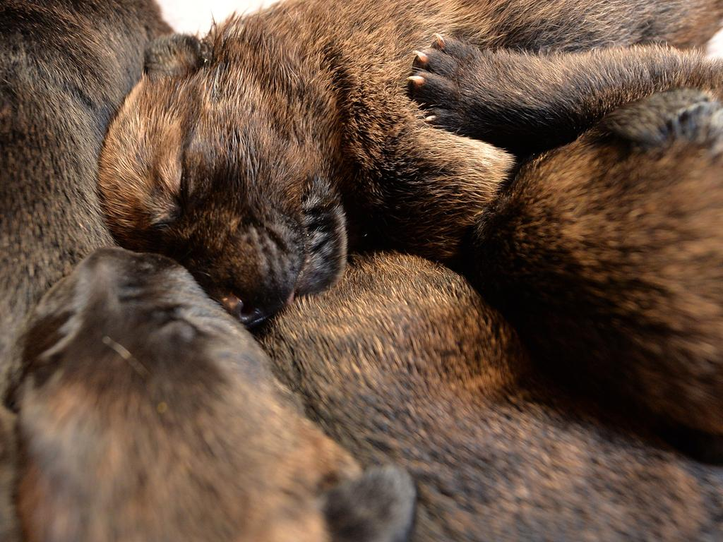 Fünf von 17 Welpen liegen am 08.09.2016 in Bad Zwischenahn (Niedersachsen) nach der Fütterung auf einer Decke. Dogge «Mäuschen» hatte Ende August 17 Welpen geworfen. Foto: Carmen Jaspersen/dpa +++(c) dpa - Bildfunk+++