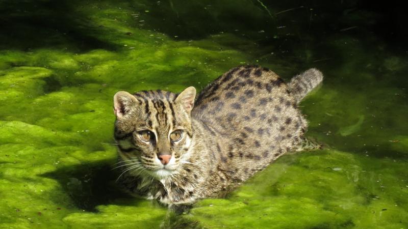 Der weltweite Bestand der Fischkatze wird auf weniger als 10.000Tiere geschätzt. Der Bestand ist rückläufig, daher wird die Art als gefährdeteingestuft.