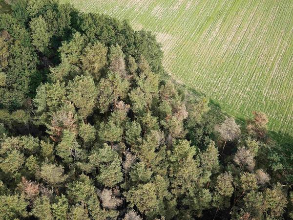 Nach dem Hitzesommer 2015 sterben in Bayern viele Kiefern ab. Besonders dramatisch ist die Lage nördlich von Herzogenaurach, zwischen Haundorf und Beutelsdorf. Von unten und vor allem von oben sind die abgestorbenen rotbraunen Baumkronen deutlich zu erkennen.