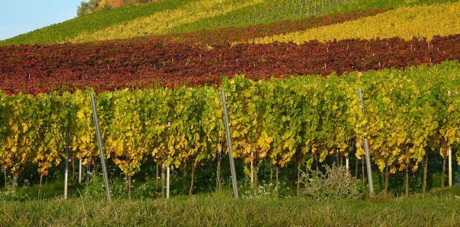 12. Haben wir den Wein schon erwähnt? Die Landschaft in Unterfranken und im westlichen Mittelfranken wird geprägt von den vielen Weinbergen. An den Rebstöcken wachsen die Trauben, aus denen unsere Winzer Rot- und Weißweine höchster Qualität herstellen. Wissenswerte Fakten über den Weinanbau in Franken finden Sie hier.