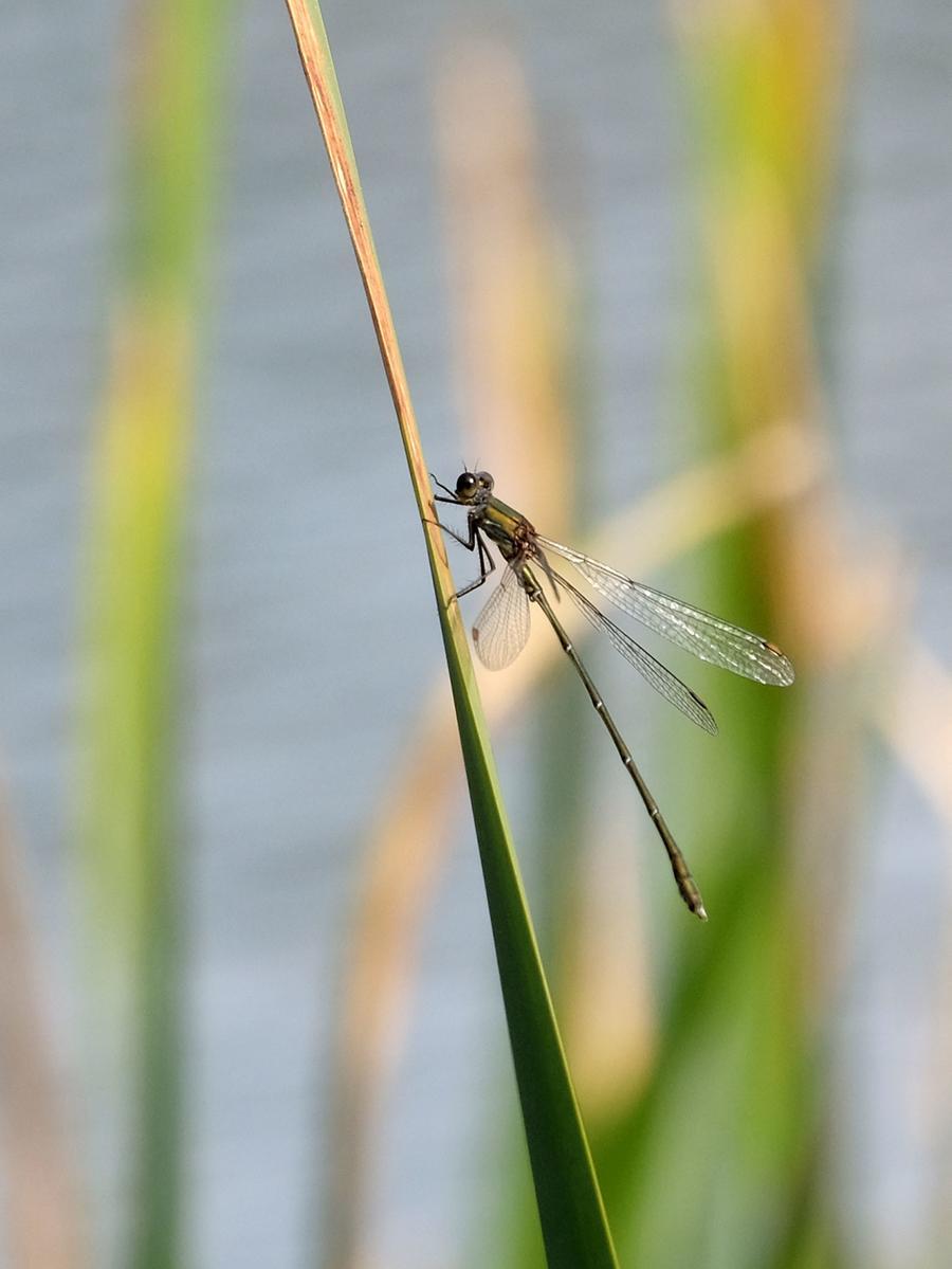 Kleiner Gast auf Stippvisite: Auch Libellen fühlen sich hier wohl.